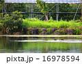 カモと池 16978594