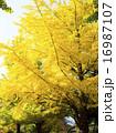 イチョウ 樹木 銀杏の写真 16987107