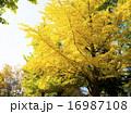 イチョウ 樹木 銀杏の写真 16987108