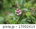 果実 ツツジ科 ブルーベリーの写真 17002414