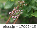 ツツジ科 果実 ブルーベリーの写真 17002415