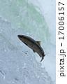 サクラマス サケ科 川の写真 17006157