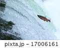 ジャンプするサクラマス 17006161