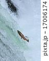 サクラマス サケ科 川の写真 17006174