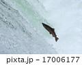 ジャンプするサクラマス 17006177