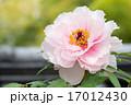 薄桃色の牡丹 17012430