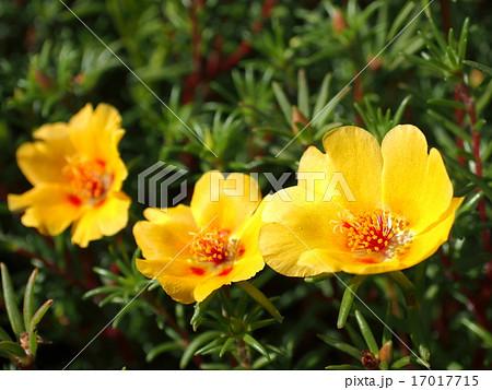 マツバボタン・オレンジ色・一重咲き 17017715