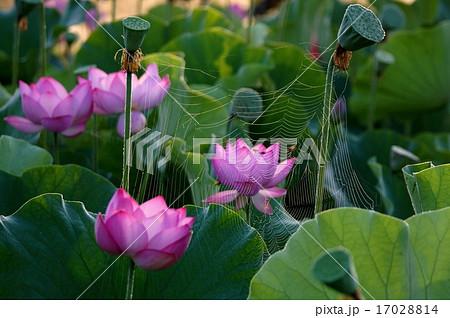 蜘蛛の糸 17028814