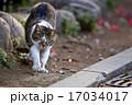 野良猫 サバトラ白猫 かわいいの写真 17034017