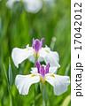 ショウブ 花 植物の写真 17042012