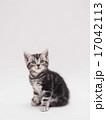 見上げるアメリカンショートヘアーの仔猫 17042113