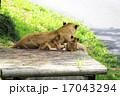 猛獣 多摩動物園 動物の写真 17043294