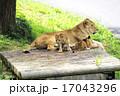 猛獣 多摩動物園 動物の写真 17043296
