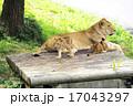 猛獣 多摩動物園 動物の写真 17043297