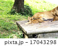 猛獣 多摩動物園 動物の写真 17043298