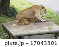 猛獣 多摩動物園 動物の写真 17043301