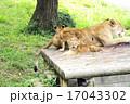 猛獣 多摩動物園 動物園の写真 17043302