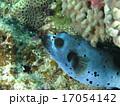 熱帯魚 コクテンフグ 魚の写真 17054142