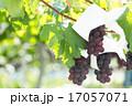 ぶどう棚 葡萄 果物の写真 17057071