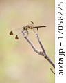 とんぼ トンボ 枝の写真 17058225
