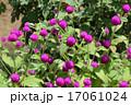 センニチコウ(千日紅) 17061024