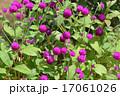 センニチコウ(千日紅) 17061026