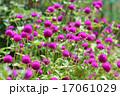 センニチコウ(千日紅) 17061029