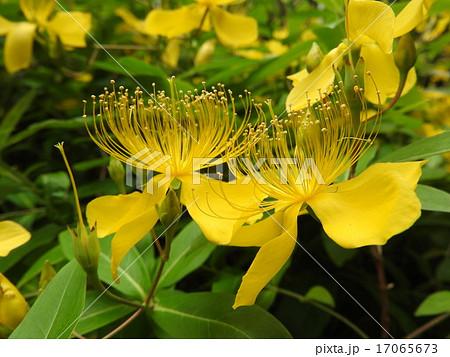 女性のまつ毛のような長い雄しべが特長的なビョウヤナギの花。 17065673