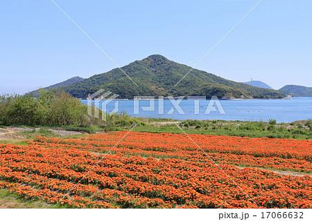 香川県三豊市 荘内半島、市営花畑「フラワーパーク浦島」のキンセンカと「粟島」 17066632