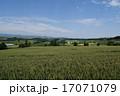麦畑 小麦 畑の写真 17071079