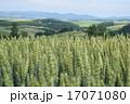 麦畑 小麦 畑の写真 17071080