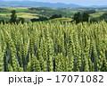 穀物 小麦 稲穂の写真 17071082