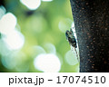 昆虫 虫 セミの写真 17074510