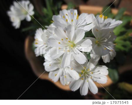 白い花 / White flower 17075545