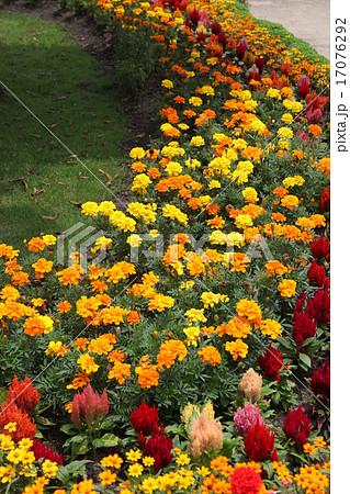 マリーゴールド、ケイトウの花壇