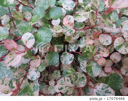 ワイヤープランツ / Maidenhair Vine 17076466