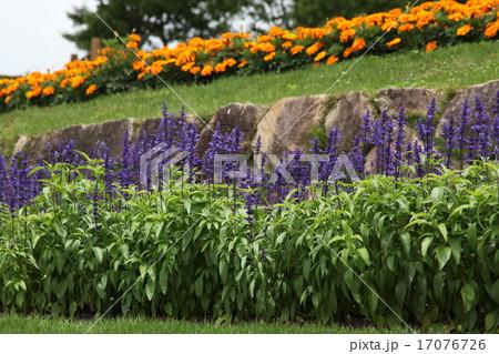 ブルーサルビアとマリーゴールドの花壇 17076726