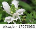 白いハナトラノオの花のアップ 17076933