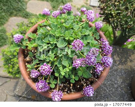 むらさきの花 / Purple Flower 17077449