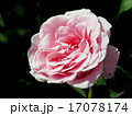 ピンクフレンチレース 薔薇 17078174