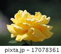ジーナロロブリジッタ 薔薇 17078361
