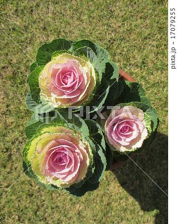 はぼたん / Ornamental Cabbage 17079255