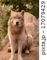 シンリンオオカミ 17079429