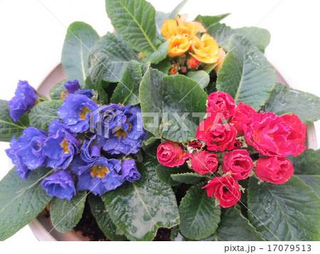ジュリアン / Primula 17079513