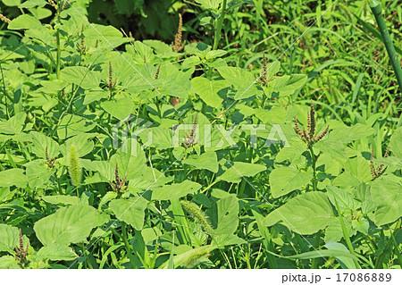 食べられる野草 イヌビユ 17086889