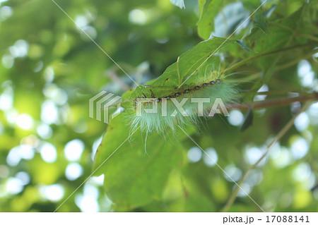 緑色の毛虫 17088141