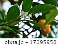 樹木:キンカン ミカン科 17095950