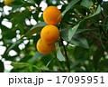 樹木:キンカン ミカン科 17095951