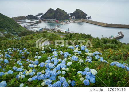 紫陽花の咲く竜飛崎から竜飛漁港と帯島を望む、青森県 17099156
