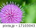 あざみ 花 植物の写真 17103043